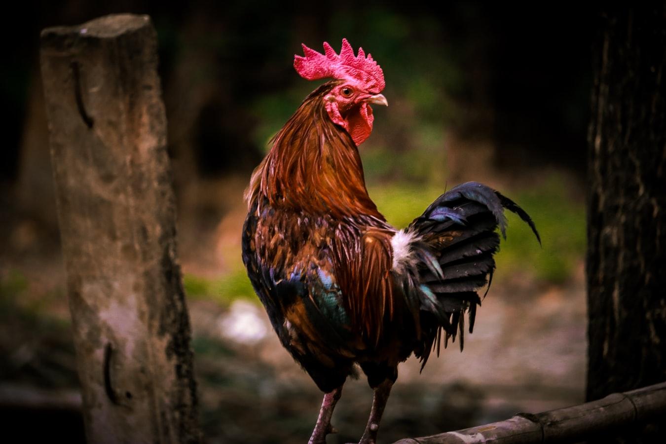Tips Menang Sabung Ayam Online S1288